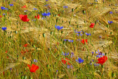 Poppys and cornflowers in the grain field, Northern Germany. Backlit Photograph Stock Photo