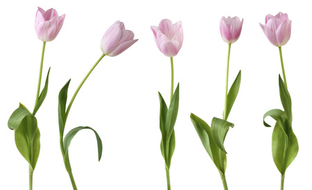 Tulips (Lily family, Liliaceae) isolated on white background, including clipping path. Germany