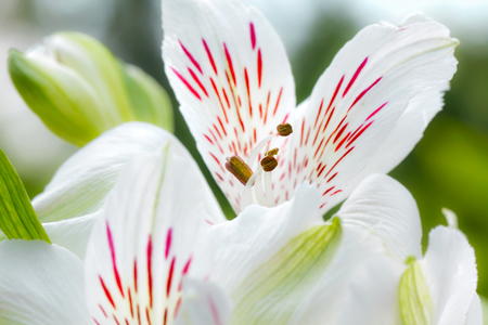 Close-up of lilies (Lily family, Liliaceae, Lilium)  Stock Photo