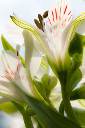Close-up of lilies (Lily family, Liliaceae, Lilium), Germany