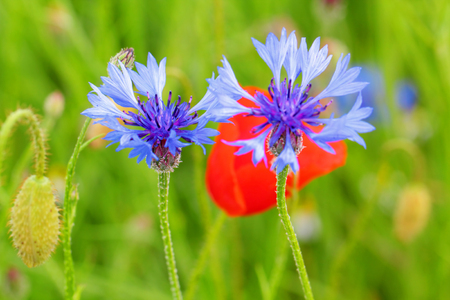 Cornflowers and poppies in a meadow, Germany