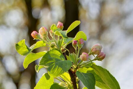 Apple blossom in spring time, Lüneburg, Northern Germany. Backlit Photograph