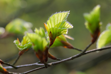 Beech leaves bloom on, Lüneburg Heath Nature Park, Nature Reserve, Northern Germany