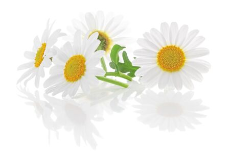 Daisies (Margeriten) isolated on white background, including clipping path without reflection. Backlit Photograph, Germany