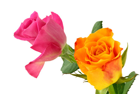 Two Roses (Rosaceae) isolated on white background, including clipping path. Germany