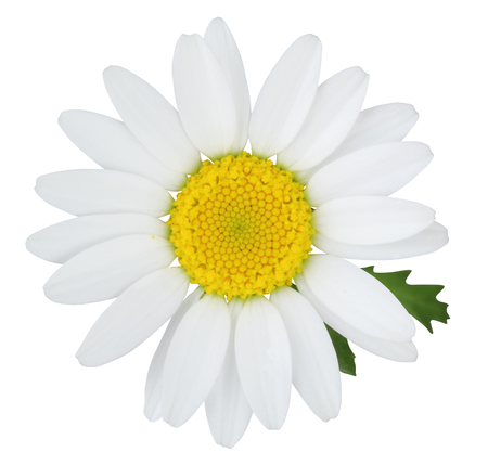 Daisy (Margerite) with green leaves isolated on white background, including clipping path, Germany
