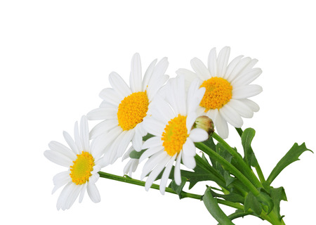 Daisies (Margeriten) isolated on white background, including clipping path. Germany