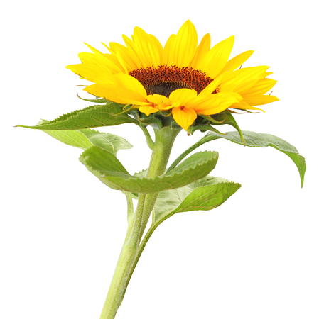 Sunflower (Helianthus annuus, Asteraceae) isolated on white background,   Germany Stock Photo