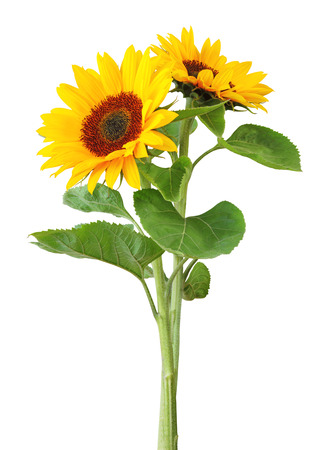 Two sunflowers (Helianthus annuus, Asteraceae)  isolated on white background, , inclusive clipping path. Germany Stock Photo