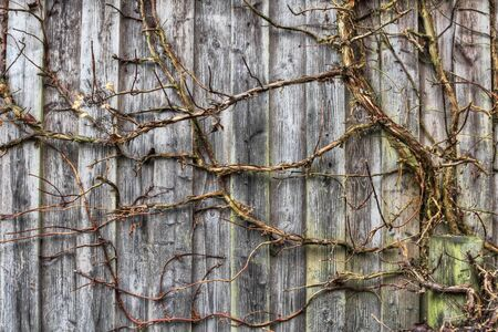 Abstract background of wooden slats and a climbing plant