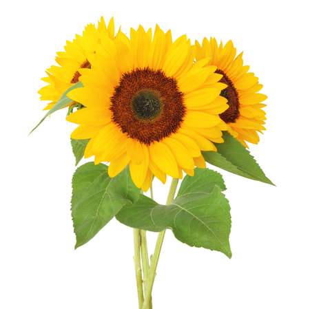 Three sunflowers (Helianthus annuus, Asteraceae)  isolated on white background, , including clipping path. Germany