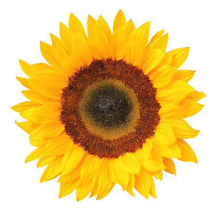 Sunflower (Helianthus annuus, Asteraceae) isolated on white background, inclusive clipping.path. Germany Stock Photo