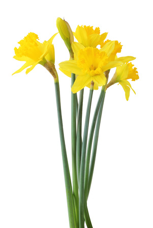 Narcissus isolated on white background, including clipping path. Germany