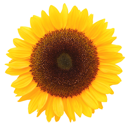 Sunflower (Helianthus annuus, Asteraceae) isolated on white background, including clipping path. Germany