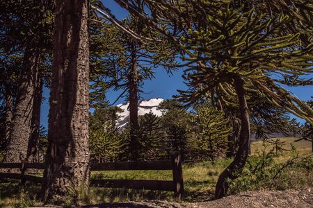 View of the volcano Lonquimay in the Araucan?a region of Chile through one of the oldest tree species: the Araucaria.