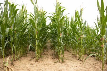 cornfield, corn plants in a line, green leafes, fruit are not matured yet