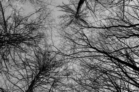 Treetops photographed without leaves against the sky, black and white Standard-Bild