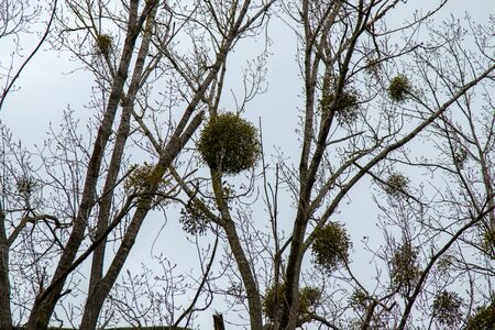 mistletoe on trees in autumn Foto de archivo
