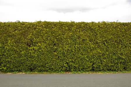 Green coniferous hedge under a blue sky, background, no people