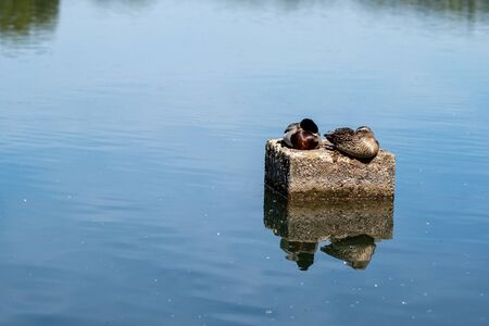 couple of mallard ducks resting on a stone in a lake, reflection in water