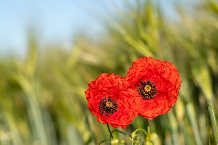 Two poppies bloom on the edge of a wheat field, blue sky Stock Photo