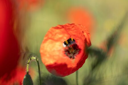 a bumble bee flies into a poppy flower , green background Stock Photo