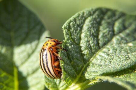 Leptinotarsa decemlineata, potato beetle on potato plants, insect Stock Photo