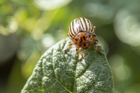 Leptinotarsa decemlineata, potato beetle on potato plants, vermin insect