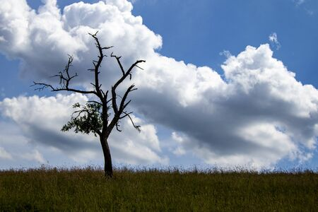 single tree on a meadow photographed against the sun, some dry branches, cloudy sky Stock Photo
