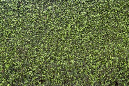 Green coniferous hedge as a background, ouddoors