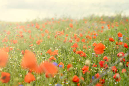 flower meadow with poppies and grass, bokeh
