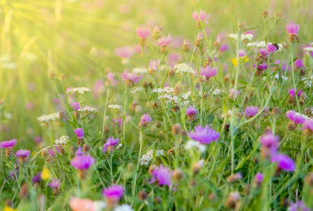 flower meadow with sunbeam, purple, white and yellow blossoms, outdoor