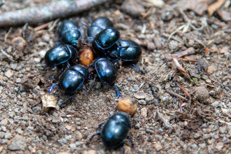 dung beetles on forest ground, bokeh