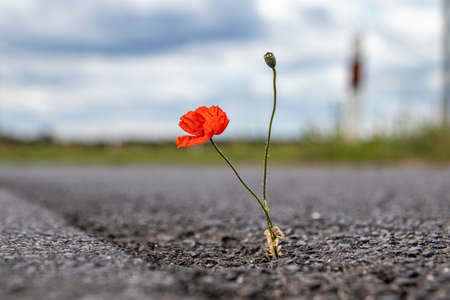 single poppy growing from a crack in the asphalt of a road, outdoors, Papaver rhoeas