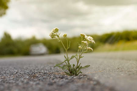achilllea nobilis, yarrow growing from a crack in the asphalt of a road, outdoors Stock Photo