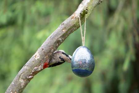 Dendrocopos major, woodpecker at a bird feeder