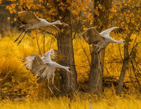 Sandhill cranes landing 스톡 콘텐츠