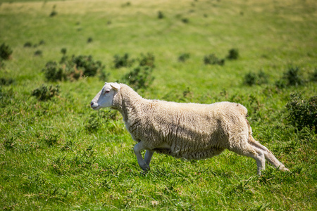 Sheep running with green grass in New Zealand. Stock Photo