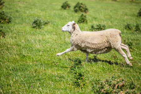 bah: Sheep running with green grass in New Zealand. Stock Photo