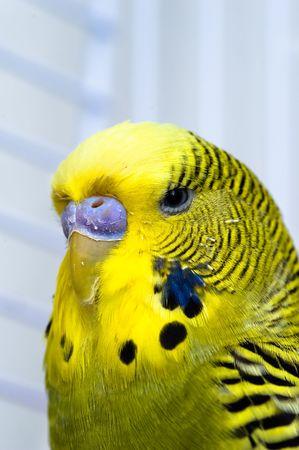 captivity: Green male domestiq Canary bird in captivity