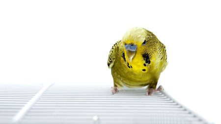 A green budgie on top of his cage Standard-Bild