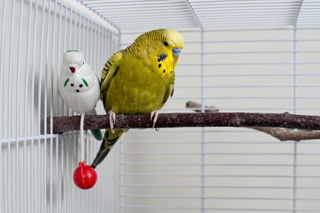 A green domestic budgie sitting with his toy friend. Standard-Bild