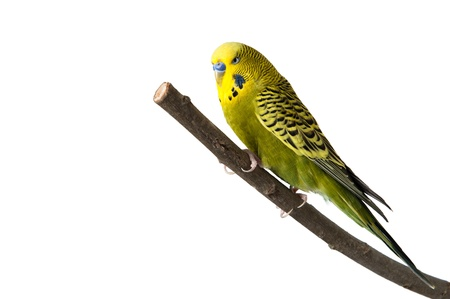 A green tame green budgie sitting on a branch Standard-Bild