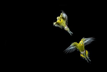loros verdes: Dos Budgie verde en vuelo dispar� sobre un fondo negro Foto de archivo