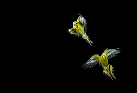 Two green budgies in flight shot on a black background