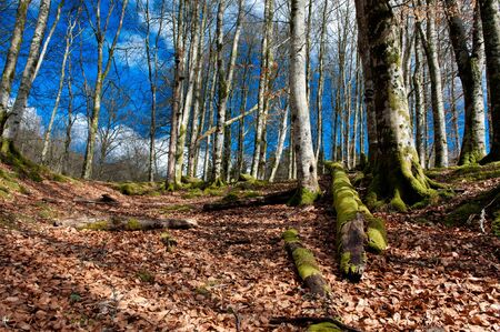 norway maple: Nature scene from a forrest in Norway at autumn