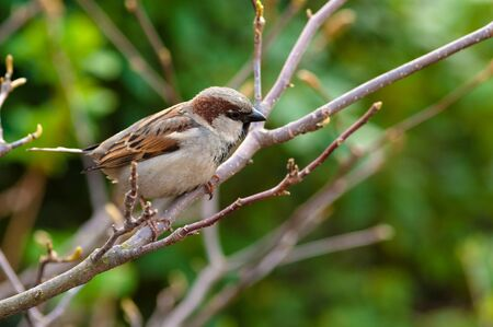 A brown sparrow sitting on a branch