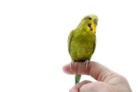 A green budgie sitting on a human finger