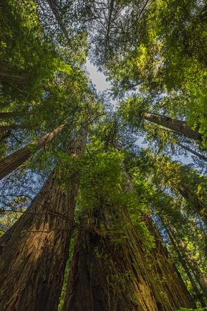 Redwood Forest on the California Coast