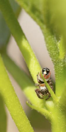 Jumping Spider (Salticidae) waiting in ambush